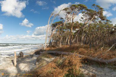 Windflüchter am wildromantischen Weststrand auf dem Darß